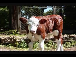 Whiteface calf