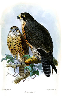 falcominorkeulemans